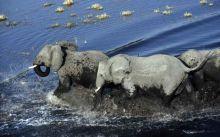 Elefantes en el  rio Chobe. PN Chobe. Botswana.: Botswana, Namibia, Cataratas Victoria, Sudáfrica