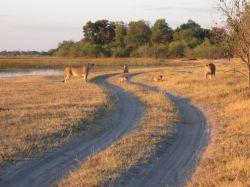 Safari, zona de Savute en nuestro camión en el PN Chobe. Botswana.: Botswana, Zimbabwe, Cataratas Victoria