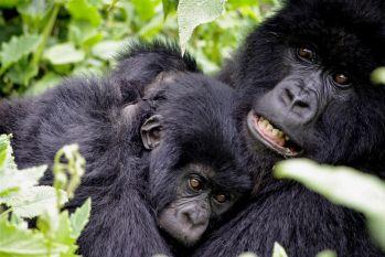 Gorilas de montaña, P.N. Bwindi: Uganda, Rwanda