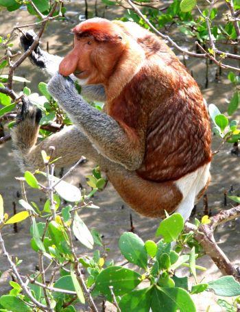 Mono proboscis : Malasia