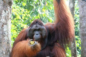 Orangutan en Semenggoh : Malasia