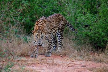 Leopardo en Parque Nacional Yala: Sri lanka