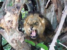 El rugido del león en el PN Lago Manyara, Tanzania.jpg: Tanzania, Zanzíbar