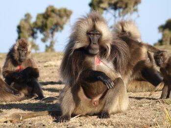 Gelada baboon: Etiopía