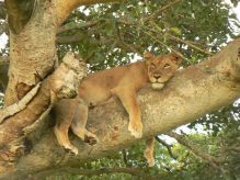 León trepador Ishasha, Queen Elisabeth: Uganda