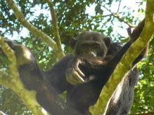 Chimpancé Kyambura Gorge: Uganda