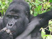 Gorila Bwindi: Uganda