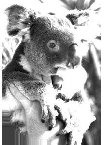 viajes australia koala